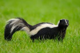 skunk in grass